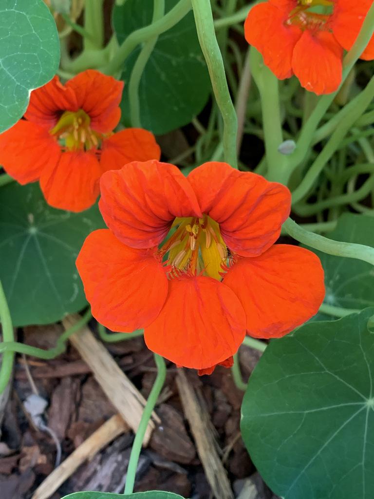 nasturtiums thegourmanticgarden IMG 4872